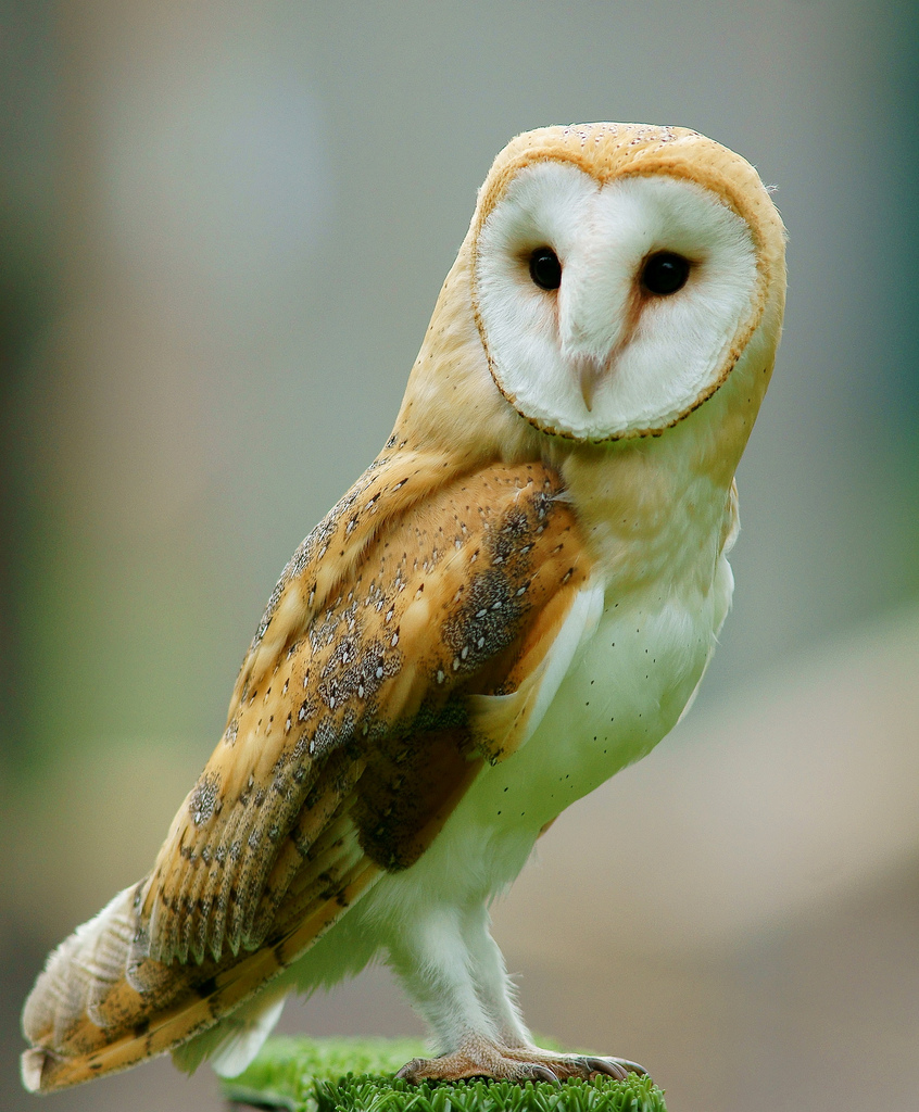 Barn Owl, Credit: Wikipedia